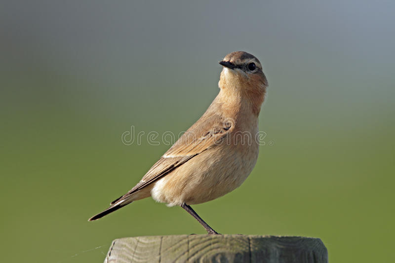 Northern wheatear, oenanthe oenanthe royalty free stock photography