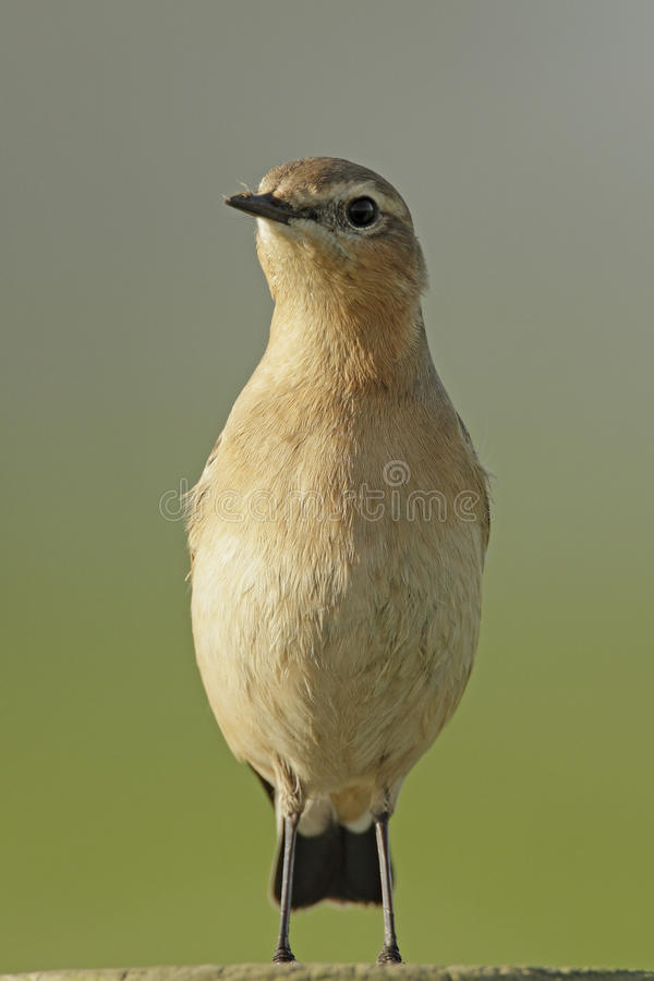 Northern wheatear, oenanthe oenanthe royalty free stock photo