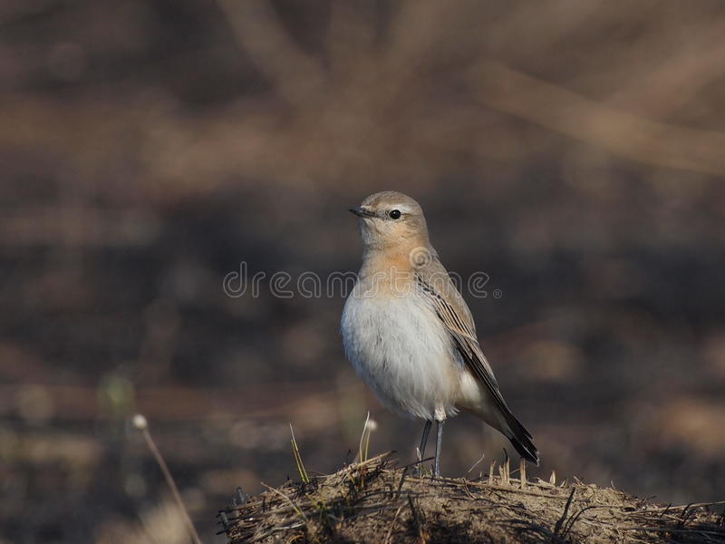Download Northern Wheatear,  Oenanthe Oenanthe Stock Photo - Image: 22567154