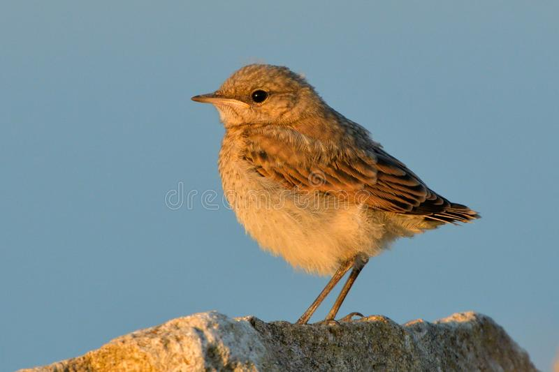Northern wheatear chick on a rock royalty free stock photography