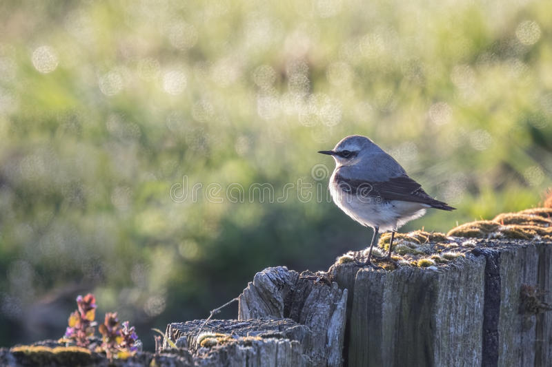 Northern wheatear (Oenanthe oenanthe) stock image