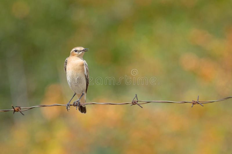 Northern Wheatear - Oenanthe oenanthe royalty free stock photo