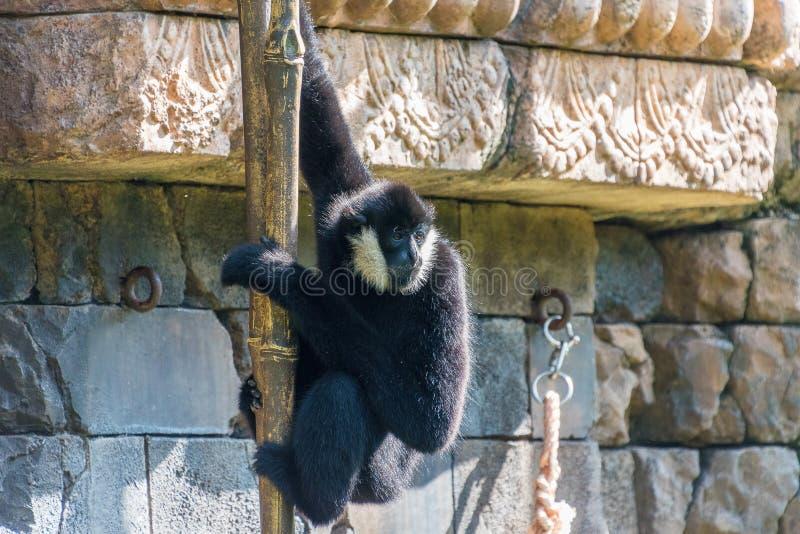 Northern White-Cheeked Gibbon. Swinging around stock photography