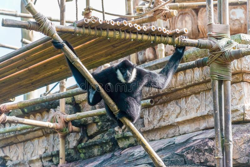 Northern White-Cheeked Gibbon. Swinging around royalty free stock photos
