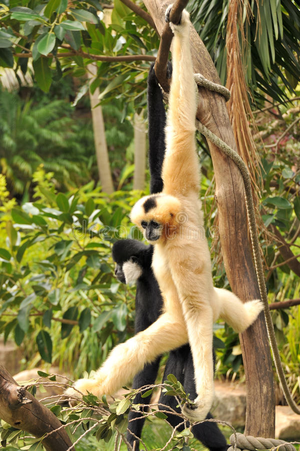 Northern white-cheeked gibbons. A female (white) and a male (black) Northern white-cheeked gibbon are hanging on a tree stock photos