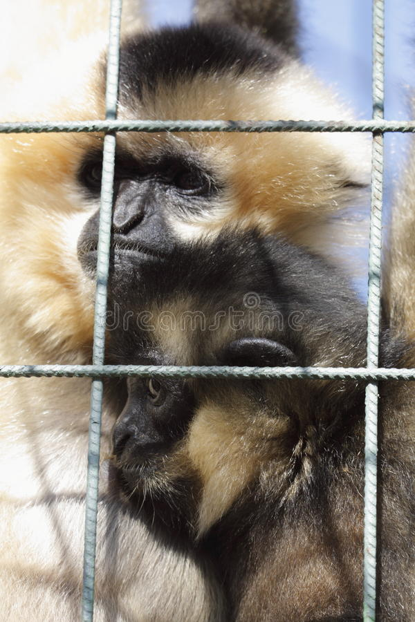 Download Northern White-cheeked Gibbons Under Bars Stock Image - Image: 16603089