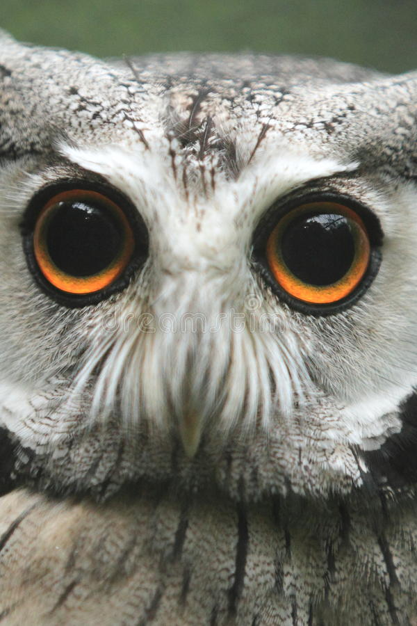 Download Northern White-faced Owl stock image. Image of bird, gazing - 28700611