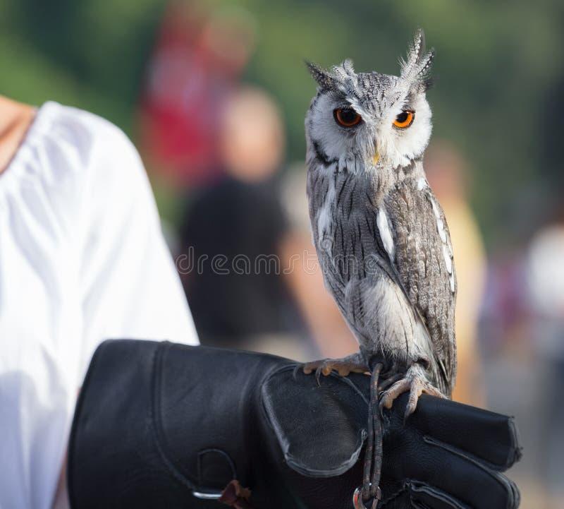 Northern white-faced owl - Ptilopsis leucotis, Falconry show during a Medieval Festival in Santa Maria da Feira. Northern white-faced owl - Ptilopsis leucotis stock image