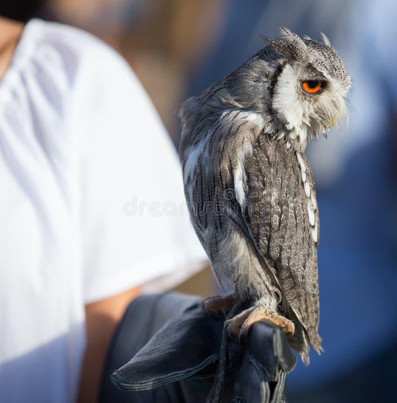 Northern white-faced owl - Ptilopsis leucotis, Falconry show during a Medieval Festival in Santa Maria da Feira. Northern white-faced owl - Ptilopsis leucotis royalty free stock image