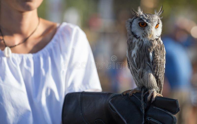 Northern white-faced owl - Ptilopsis leucotis, Falconry show during a Medieval Festival in Santa Maria da Feira. Northern white-faced owl - Ptilopsis leucotis royalty free stock photography