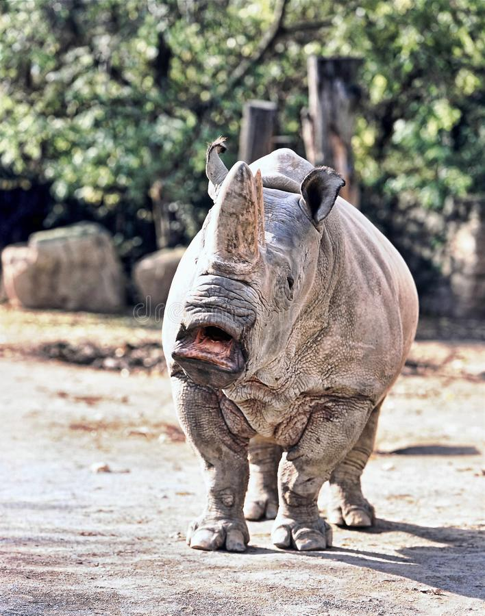 Northern White rhinoceros, Ceratotherium simum cottoni, today only the last two rhinos stock photos