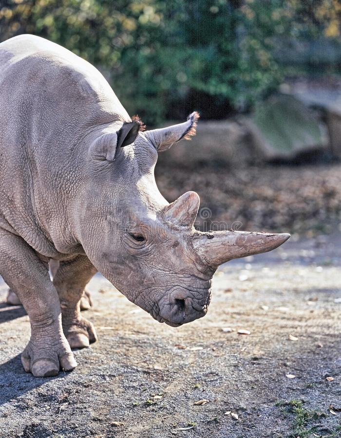 Free Northern White Rhinoceros, Ceratotherium Simum Cottoni, Today Only The Last Two Rhinos Stock Photography - 112725162