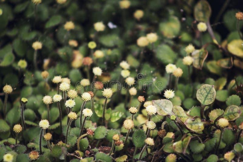 Northland button daisy. Leptinella rotundata stock images