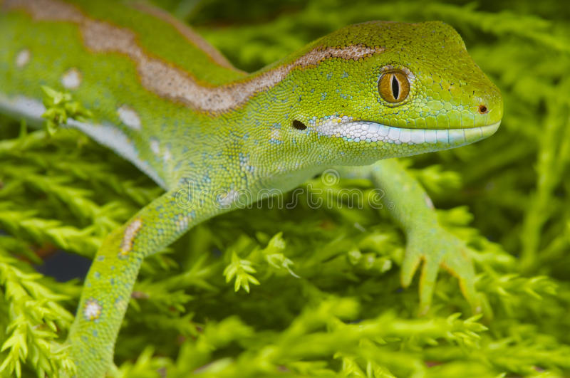 Northland green gecko / Naultinus grayii. Naultinus grayii better known as the Northland green gecko is a spectacular day gecko species endemic to Northern New royalty free stock image
