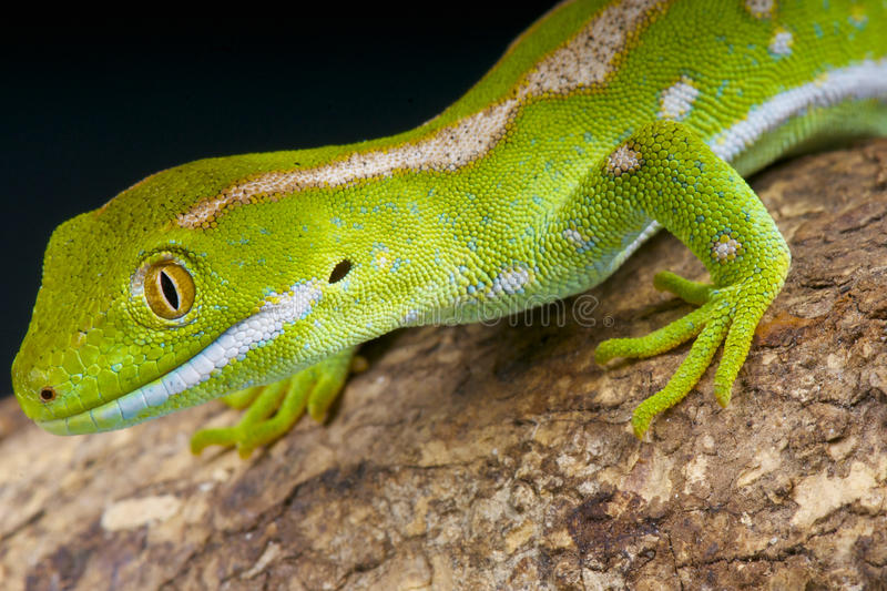 Northland green gecko / Naultinus grayii. Naultinus grayii better known as the Northland green gecko is a spectacular day gecko species endemic to Northern New royalty free stock images