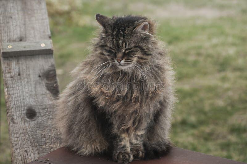 Noruego Forest Cat imagen de archivo libre de regalías