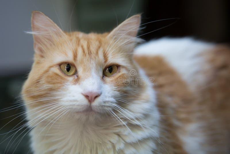Norvégien Forest Cat photographie stock libre de droits
