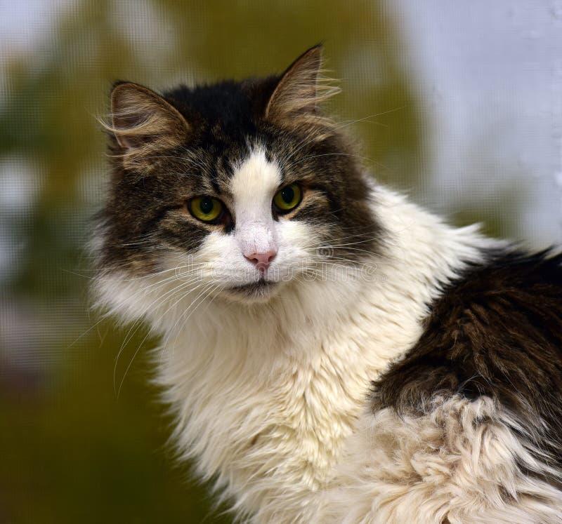 Norvegese Forest Cat fotografie stock