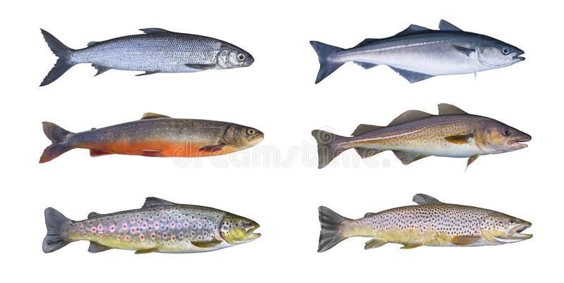 Norway fish set. Whitefish, arctic char, brook brown trout, pollock fish, coalfish, saithe, cod fish stock photography