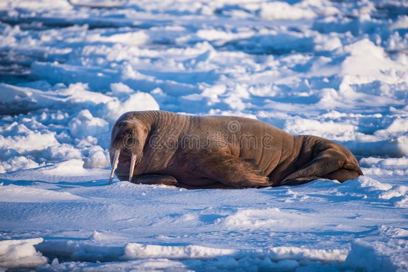 Landscape nature walrus on an ice floe of Spitsbergen Longyearbyen Svalbard arctic winter sunshine day stock image