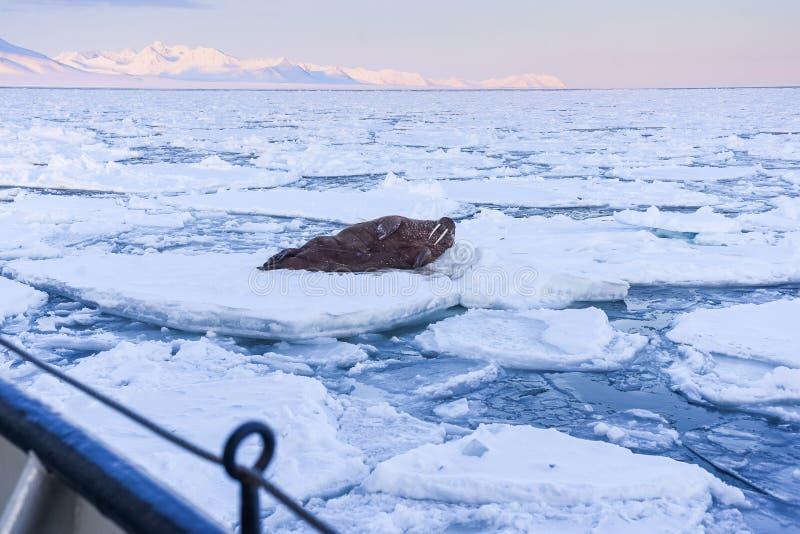 Landscape nature walrus on an ice floe of Spitsbergen Longyearbyen Svalbard arctic winter sunshine day. Norway landscape nature walrus on an ice floe of stock photo