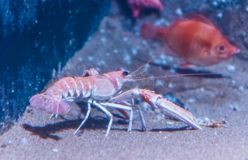 Norway lobster on the bottom of the aquarium in closeup, popular pet in aquaculture. A norway lobster on the bottom of the aquarium in closeup, popular pet in royalty free stock photos