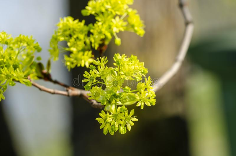 Norway maple Acer platanoides in blossom. Beautiful Norway Maple Acer platanoides in yellow blossom. Close up royalty free stock photo
