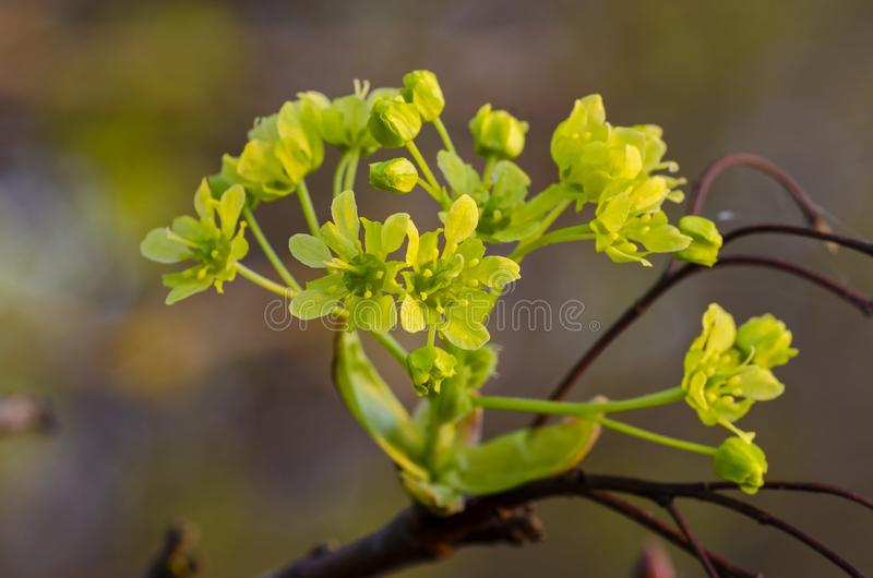 Norway Maple Acer platanoides in blossom. With blue sky in background. Close up stock image