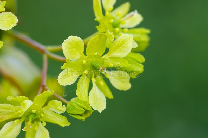 Norway Maple Acer platanoides in blossom. With green background. Close up royalty free stock image