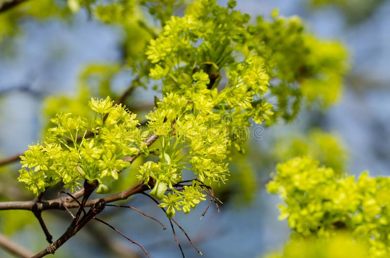 Norway Maple Acer platanoides in blossom. With blue sky in background. Close up royalty free stock photos