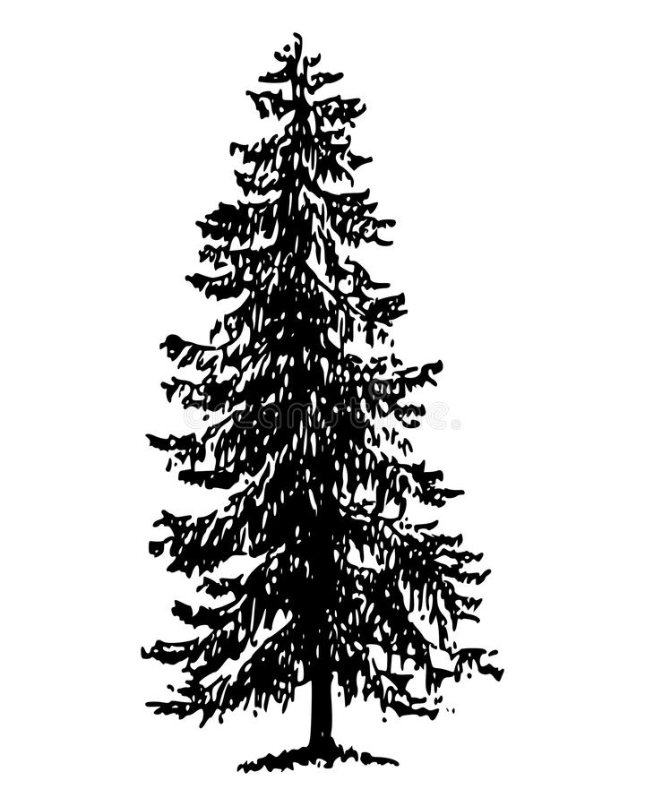 Download Norway spruce stock vector. Image of conifer, norway - 15917502