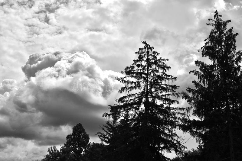 Norway spruce trees silhouetted by ominous dark clouds. Several Norway spruce trees are silhouetted by ominous storm clouds. This black-and-white reveals the stock image