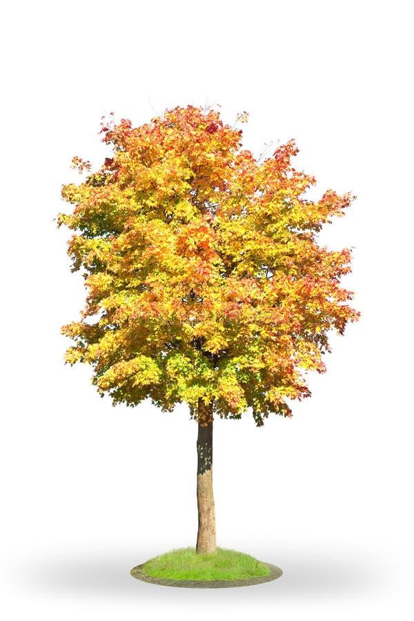 Norwegen-Ahornholz im Herbst stockbild