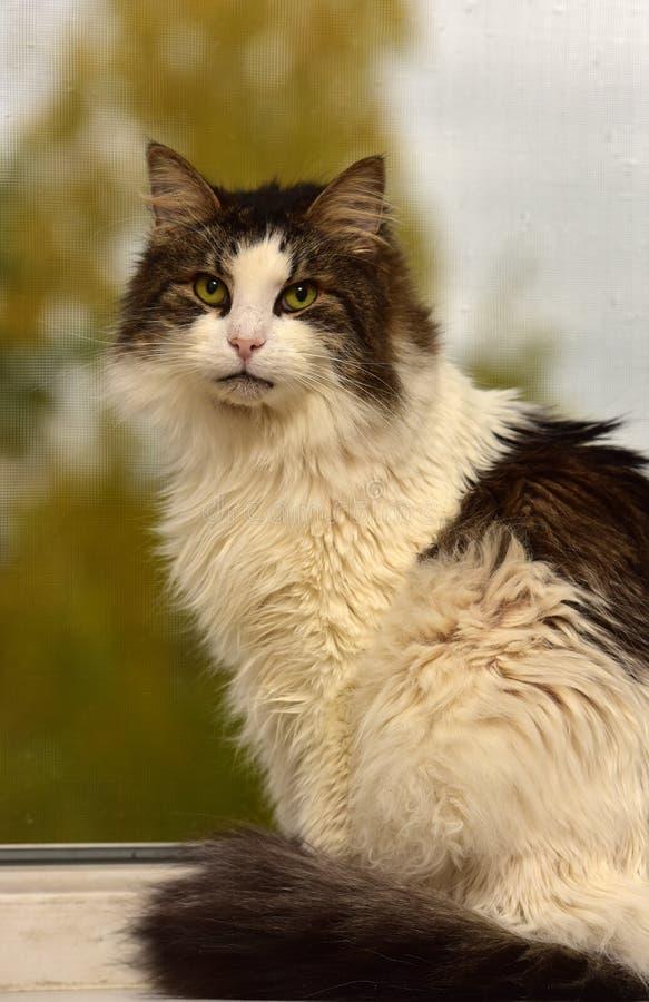 Norweger Forest Cat stockfotografie