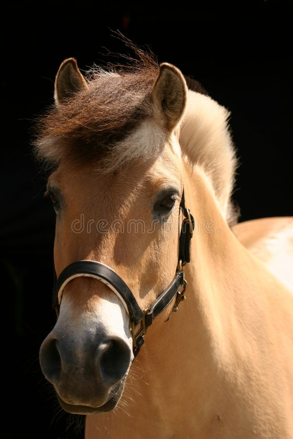 Norwegian fjord horse stock photography