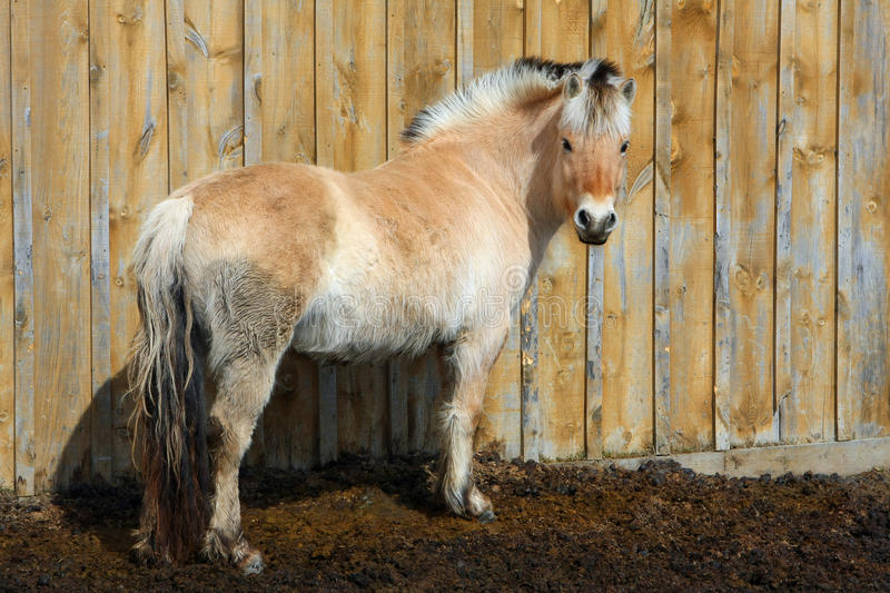 Norwegian Fjord Horse Mare royalty free stock photography