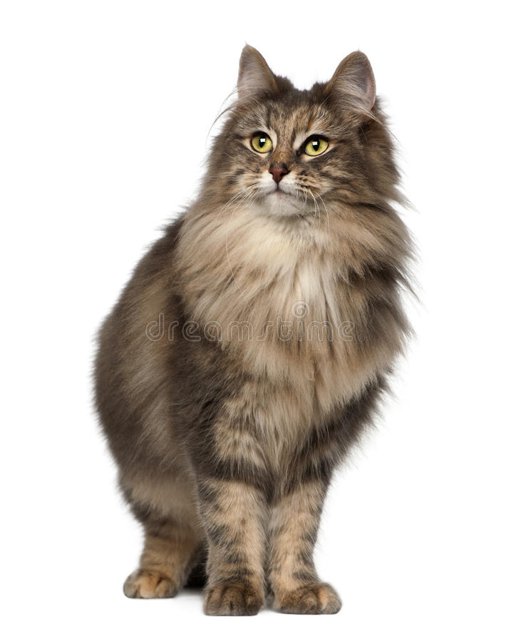 Norwegian Forest Cat, 1 and a half years old stock photos