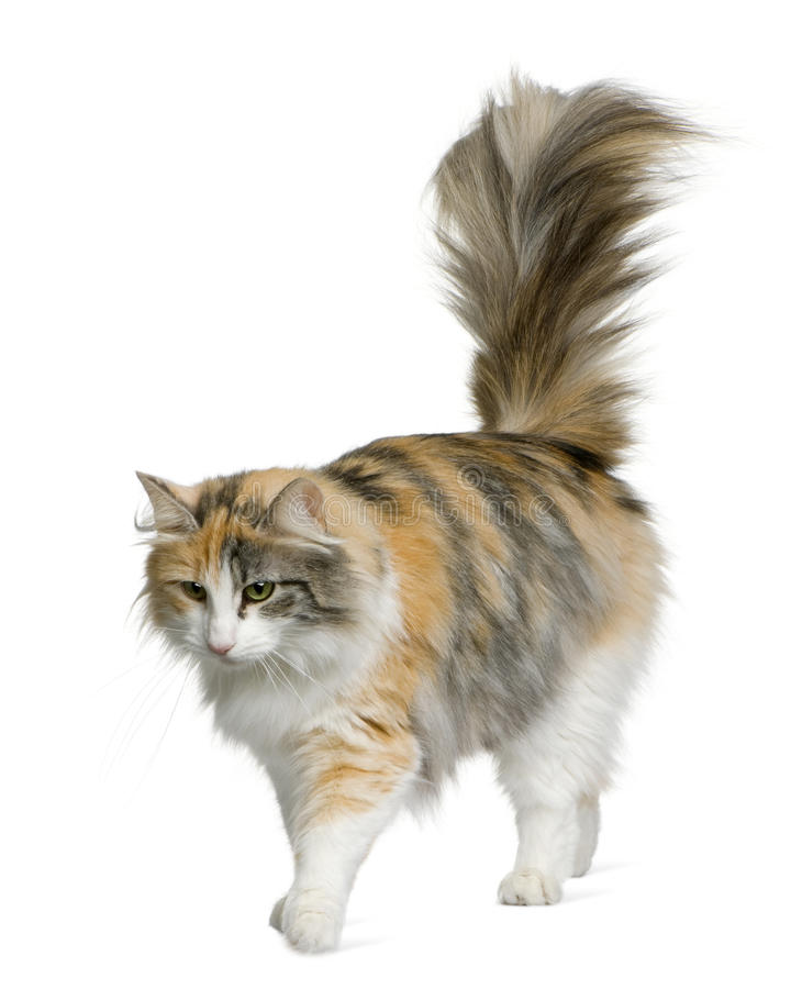 Norwegian Forest Cat, 3 years old royalty free stock photo