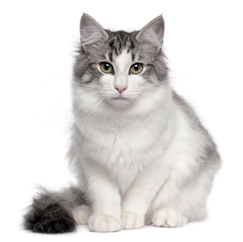 Norwegian Forest Cat, 5 months old, sitting royalty free stock photography