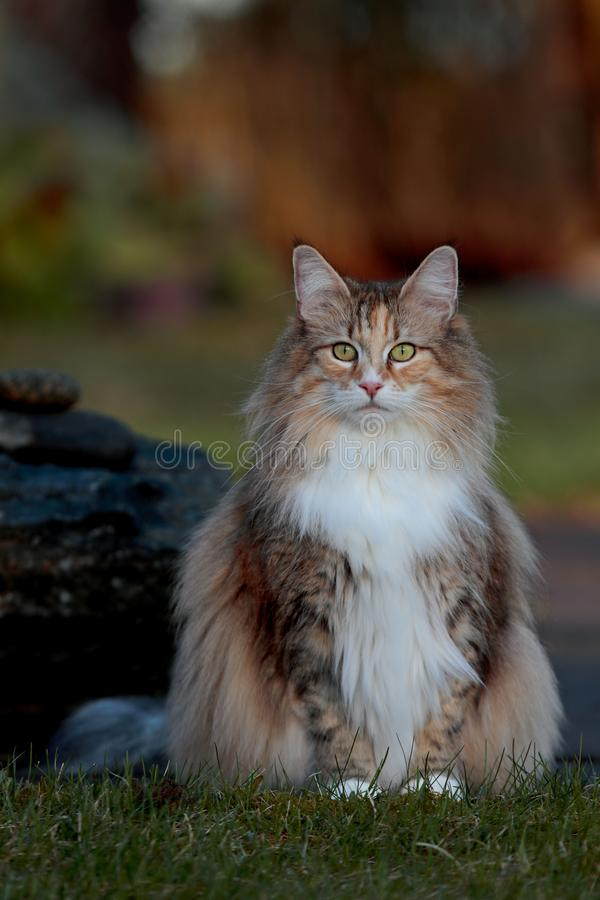 Norwegian forest cat female in the evening light. Norwegian forest cat female sitting in garden in beautiful evening light royalty free stock photography