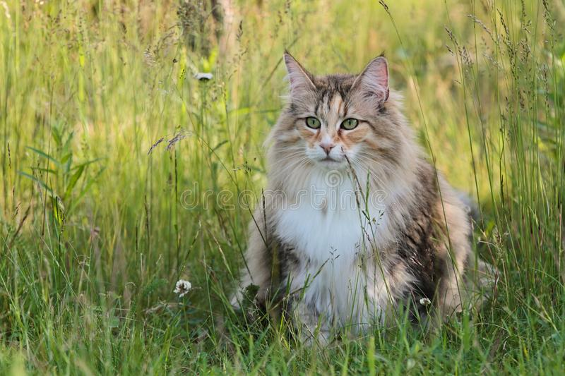 Norwegian forest cat female sitting on high grass. In summer royalty free stock photo