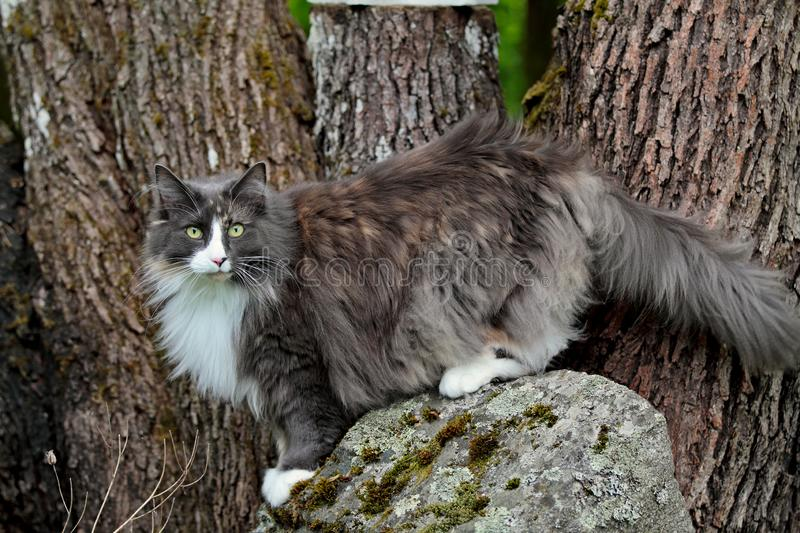 A norwegian forest cat female standing on a gray stone stock images