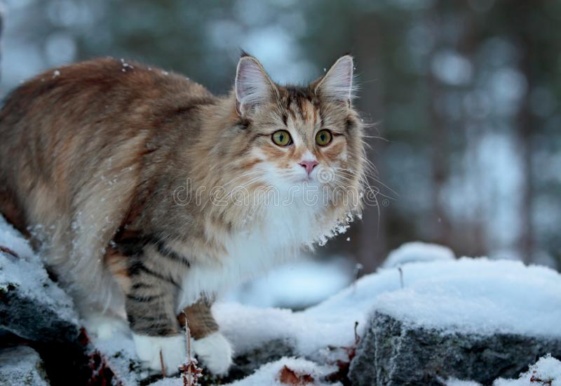 A norwegian forest cat female standing on a stone in winter time stock photography
