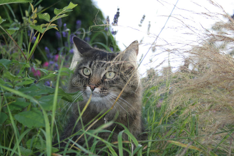 Norwegian Forest Cat. A Norwegian Forest Cat hiding among the tall grasses and flowers royalty free stock images