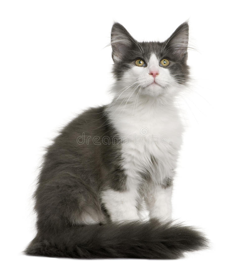 Norwegian Forest Cat kitten (4 months old) stock photography