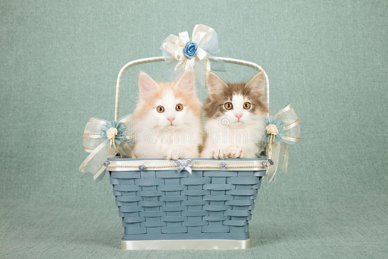 Norwegian Forest Cat kittens sitting inside Wedgewood blue basket decorated with bows and ribbons royalty free stock photography