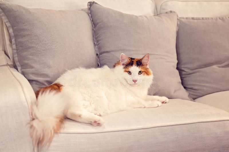 Norwegian Forest Cat Lounges On A Sofa at Home. Beautiful adult female Norwegian Forest cat lounging on a grey sofa in its home where it has free range royalty free stock photography