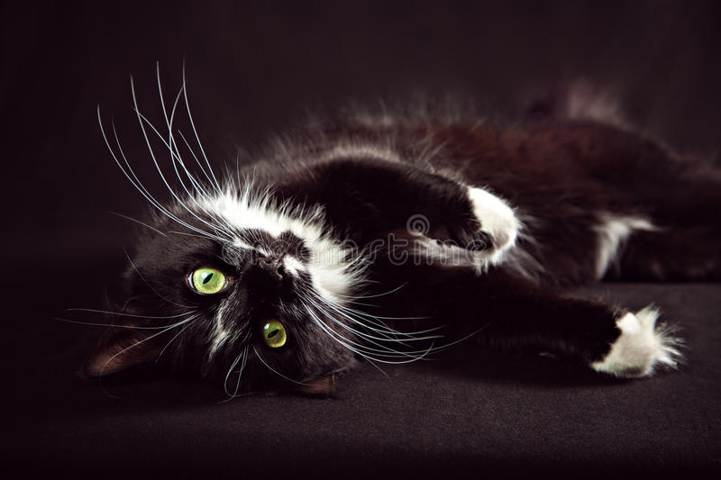 Norwegian Forest Cat lying on a black background. Black and white Norwegian Forest Cat lying on a black background stock photos