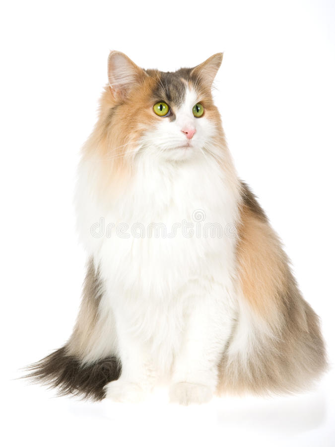 Norwegian Forest Cat, on white background royalty free stock photo