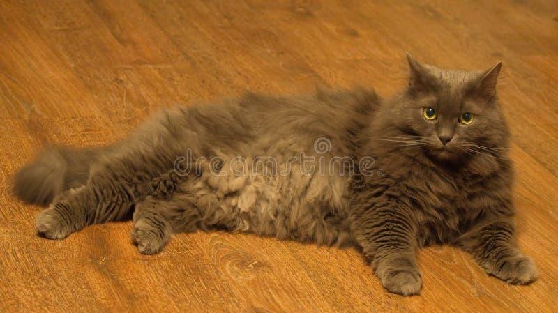 Norwegian Forest grey housecat. Handsome in Russia in St. Petersburg stock photography
